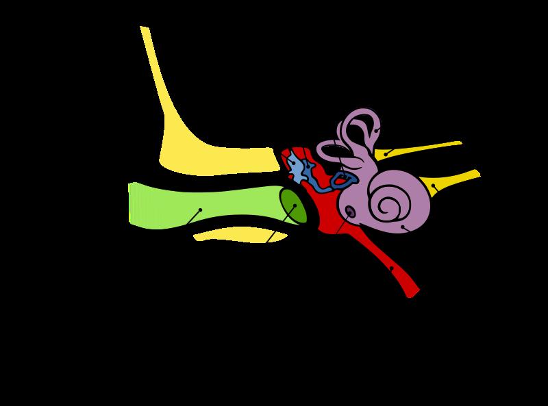 implanturi tridimensionale grafica ureche